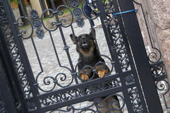 Barking dog. The dog protecting a gate before an input in the house Stock Photo