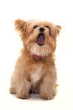 Barking Dog Stock Photos