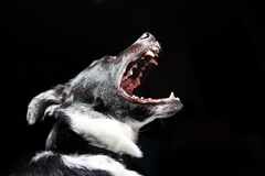 Barking dog Stock Photography