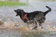 Barking dog. Black bad barking dog in water Royalty Free Stock Images