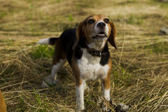 Barking dog breed Beagle. Barking Dog Beagle standing in mown grass summer day Royalty Free Stock Photos