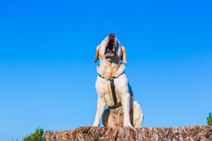 Barking dog. In front of blue sky Stock Photography