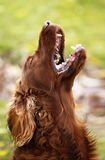 Barking dog. Naughty Irish Setter puppy open his mouth and barking royalty free stock image