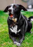 Barking dog Royalty Free Stock Photo