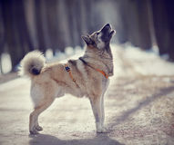 Barking dog on walk in winter. Royalty Free Stock Photos