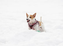 Barking dog wearing warm harness with word Stock Photo