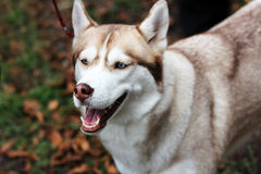 Barking dog. Woofing husky dog closeup muzzle and Royalty Free Stock Images