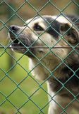 Barking dogg behind the fence. Ungry dog barking from behind the fence royalty free stock photography