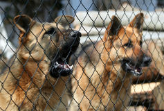 Barking dogs Stock Image