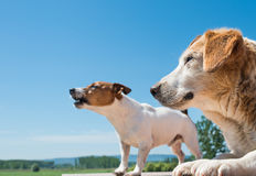 Barking dogs. Portrait of a barking dogs Stock Images