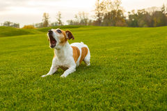 Barking dpg. Dog with opened mouth barking screaming, talking, complaining. NAtural  park background Stock Image