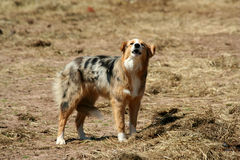Barking farm dog with tail between it's legs Royalty Free Stock Photography