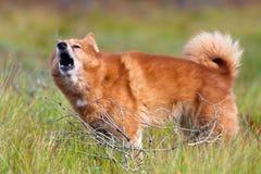 Barking finnish spitz Royalty Free Stock Photos