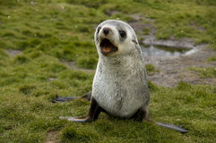 Barking Fur Seal in Light Snow Fall Stock Photo