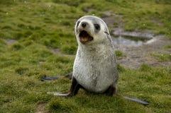 Barking Fur Seal in Light Snow Fall. A Fur Seal pup barking at the camera - South Georgia Stock Photo