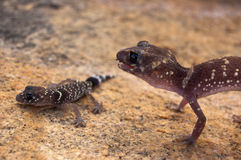 Barking gecko mother in defensive posture over offspring. Barking gecko (Underwoodisaurus milii), named for the posture and noise they make when threatened. SW Stock Images