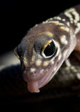 Barking Gecko Nullabor Royalty Free Stock Photo