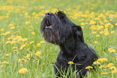 Barking Giant Black Schnauzer Dog. Is sitting at the blossoming dandelion meadow Stock Image