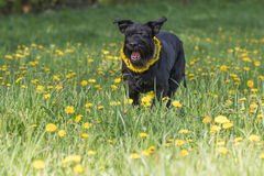 Barking Giant Black Schnauzer Dog standing at the blossoming dan. Barking Giant Black Schnauzer Dog with a wreath of dandelion on the neck is standing at the Royalty Free Stock Photos