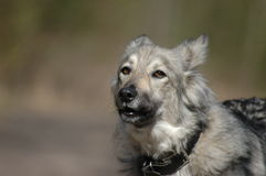 Barking grey dog. In the street Stock Images