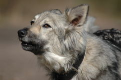 Barking grey dog Royalty Free Stock Photography