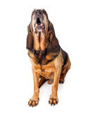 Barking Large Bloodhound Dog Royalty Free Stock Photo