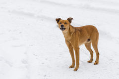 Barking mixed breed dog. On a winter street Royalty Free Stock Photos