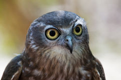 Barking Owl. Frontal Portrait of a Barking Owl Royalty Free Stock Photography