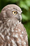 Barking Owl Royalty Free Stock Photos