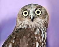 Barking Owl Stock Photography