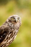Barking Owl. Portrait of a Barking Owl Stock Image