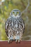 Barking Owl. Full body portrait of a barking owl; large greyish-brown hawk-owl (ninox connivens) with large staring yellow eyes, Australia stock images