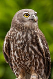 Barking Owl Stock Image