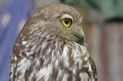Barking Owl Australia. Portrait Australian Barking Owl with bright yellow eyes, blurred background Royalty Free Stock Photo