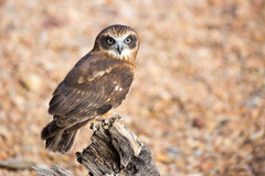 Barking Owl Stock Photos