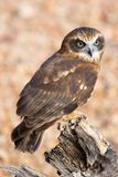 Barking Owl. An Australian barking owl near Alice Springs, Northern Territory, Australia Royalty Free Stock Image