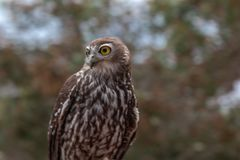 Barking Owl with bush in background stock image