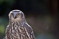 Barking owl Stock Photo