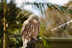 Barking owl at Currumbin Wildlife Park Stock Photos