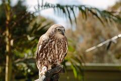 Barking owl at Currumbin Wildlife Park Stock Photos
