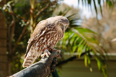 Barking owl at Currumbin Wildlife Park Stock Photography