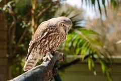 Barking owl at Currumbin Wildlife Park Stock Photography