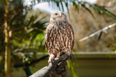 Barking owl at Currumbin Wildlife Park Royalty Free Stock Photo