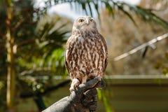 Barking owl at Currumbin Wildlife Park Royalty Free Stock Photo