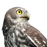 Barking Owl Isolated Royalty Free Stock Images