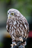 Barking Owl. A Barking Owl looks at it's surroundings in Victoria, Australia Stock Photography