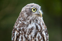 Barking Owl. A Barking Owl looks at it's surroundings in Victoria, Australia Royalty Free Stock Photo