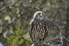 A barking owl. The barking owl is perched on a tree branch. The barn owls catches mice and rats and are kept on farms royalty free stock images