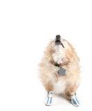 Barking Pomeranian Dog Wearing Shoes on White Background. Dog barks and howls while wearing blue and white tennis shoes Stock Images
