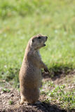 Barking prairie dog. A small prairie dog stands tall while barking royalty free stock photos